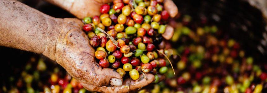Pestovanie kávy má svoje pravidlá. Kde sa jej darí najviac?